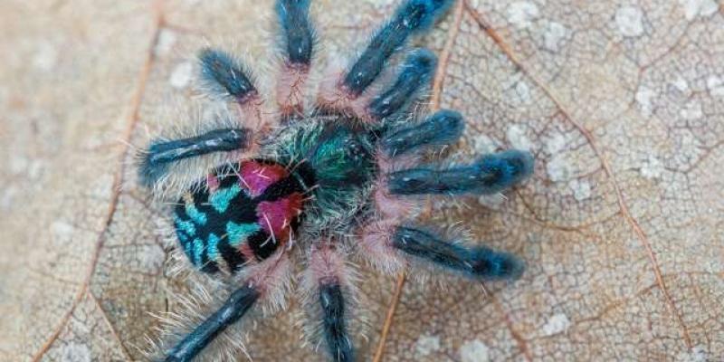 Étrangeté du vivant : cette mygale est un vrai bijou !