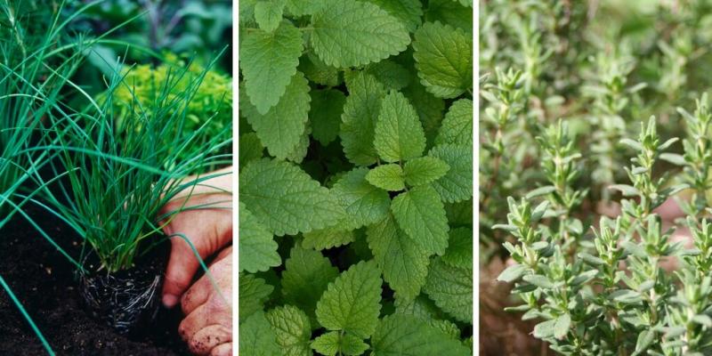 15 plantes aromatiques à faire pousser dans son jardin