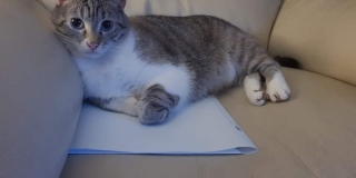 Shalone, chatte perdue à Cholet (Retrouvée)