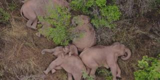Un troupeau d'éléphants s'offre une sieste en pleine équipée, en Chine